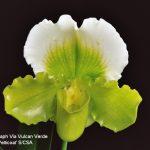 Paph Via Vulcan Verde 'Petticoat' B/CSA